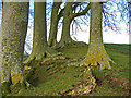 SU1069 : Avebury - Beech Trees by Chris Talbot