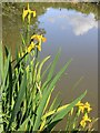 SP1866 : Flag iris by the canal by David P Howard