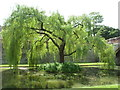TQ4274 : Eltham: willow in the Palace moat by Chris Downer
