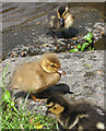 SE8383 : Mallard ducklings by Pauline Eccles