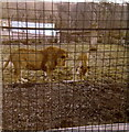 NS6862 : The Lions in the old Glasgow Zoo by Elliott Simpson