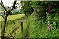 SH6706 : Foxgloves Along the Path by Peter Trimming