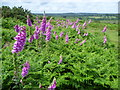 TQ4729 : Foxgloves on Ashdown Forest by Ian Yarham
