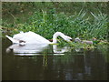 SZ0697 : Longham: swan and cygnet on the swollen Stour by Chris Downer