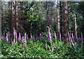 SU6783 : Foxgloves in Ipsden Wood by Des Blenkinsopp