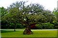 R3870 : Dromoland - Castle Grounds - Unique Tree by Joseph Mischyshyn