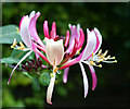 SK5236 : Honeysuckle flower on Dovecote Lane by David Lally