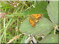 SS8036 : A 'Large Skipper' butterfly, in the Barle Valley by Roger Cornfoot