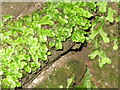 NS8146 : Liverwort at Craignethan by M J Richardson