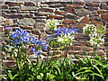 SW8131 : Agapanthus flowers on Falmouth sea front : Week 30