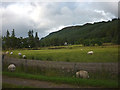 NN2996 : Sheep grazing at Laggan Lea, South Laggan by Karl and Ali