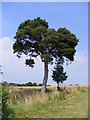 TM3674 : Pine Tree next to the Permissive path by Adrian Cable