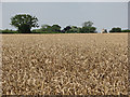 TL6147 : Wheatfield and windmill by John Sutton