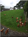 SD6393 : Free ranging hens at Bramaskew by Karl and Ali