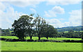 ST5857 : 2012 : Four oaks in a hedgerow by Maurice Pullin