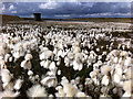 SD9619 : Common cottongrass at Light Hazzles Reservoir by Phil Champion