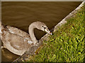 SJ6374 : Cygnet, Trent and Mersey Canal by David Dixon