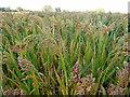 SU8207 : Field of Millet by Robin Webster
