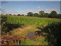 SJ9435 : Maize near Hilderstone by Derek Harper