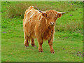 NG3859 : Cow by the A87 by John Allan