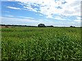 SJ6141 : Maize crop by Jonathan Billinger