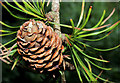 J3369 : Larch cone, Belvoir forest, Belfast by Albert Bridge