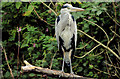 J3369 : Heron, Belfast by Albert Bridge
