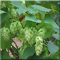 TQ8029 : Ripe hop flower at Hoad's Farm by Oast House Archive