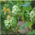 TQ8029 : Hop flower at Hoad's Farm by Oast House Archive