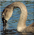 J1041 : Cygnet, Loughbrickland lake by Albert Bridge