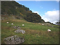 NY5213 : Sheep grazing near Swindale Foot by Karl and Ali