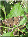 TF9528 : Speckled wood butterfly by Pauline Eccles