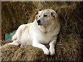 SO2955 : Labrador Relaxing at Small Breeds Farm and Owl Centre, Kington, Herefordshire by Christine Matthews