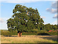 TL4101 : Oak near Fernhall Lane by Roger Jones