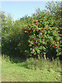 SJ8354 : Rowan tree in Harding's Wood, Staffordshire by Roger  Kidd