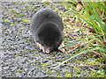 NM8206 : A mole..... by sylvia duckworth