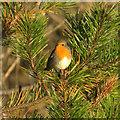 HP6213 : Robin (Erithacus rubecula), Haroldswick : Week 42