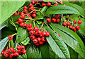 J3773 : Cotoneaster berries, Belfast by Albert Bridge