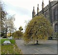 SJ8990 : Weeping Silver Pears in St Mary's Churchyard by Gerald England