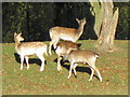 TA1231 : Deer in East Park, Hull by Ian S