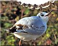 J4774 : Black-headed gull, Kiltonga, Newtownards (3) by Albert Bridge