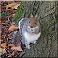 ST3087 : Grey Squirrel, Belle Vue Park by Robin Drayton