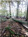 SP9831 : Fallen tree near the edge of Palmer's Shrubs by Philip Jeffrey