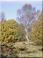 SO8389 : Oak and birch on Highgate Common, Staffordshire by Roger  Kidd