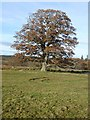 NY9959 : Beech tree by Oliver Dixon