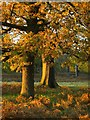 TQ2172 : Oak trees in November, Richmond Park by Stefan Czapski