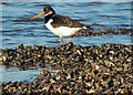 J4079 : Oystercatchers, Holywood (2) by Albert Bridge