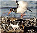 J4079 : Oystercatchers, Holywood (4) by Albert Bridge