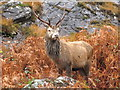 NM8695 : Stag near Sourlies by Doug Lee