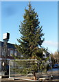 ST2994 : Christmas tree, Old Cwmbran by John Grayson